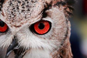 Owl-red-eyes-web